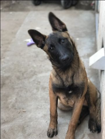 Belgian Malinois puppy for sale in MANTECA, CA. ADN25763