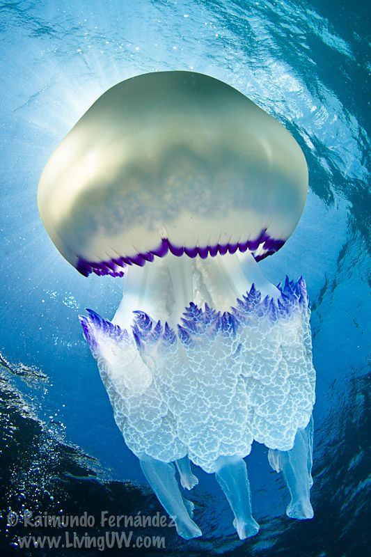 rhizostoma pulmo, commonly known as barrel jellyfish. photo by raimundo fernandez diez