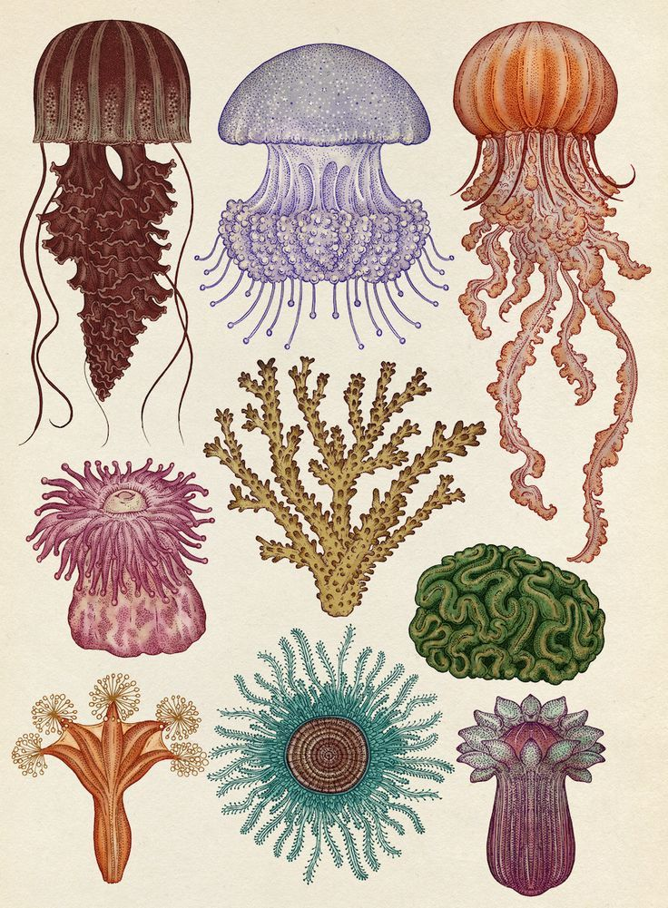 Katie Scott | Cnidaria illustration from Animalium | Cnidarians are incredibly diverse in form—they include the hydroids, jellyfish, anemones, and corals