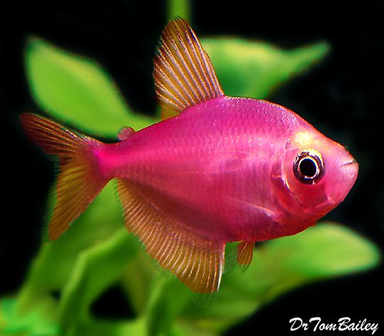 17 best images about fish on pinterest malawi cichlids for Pretty freshwater fish