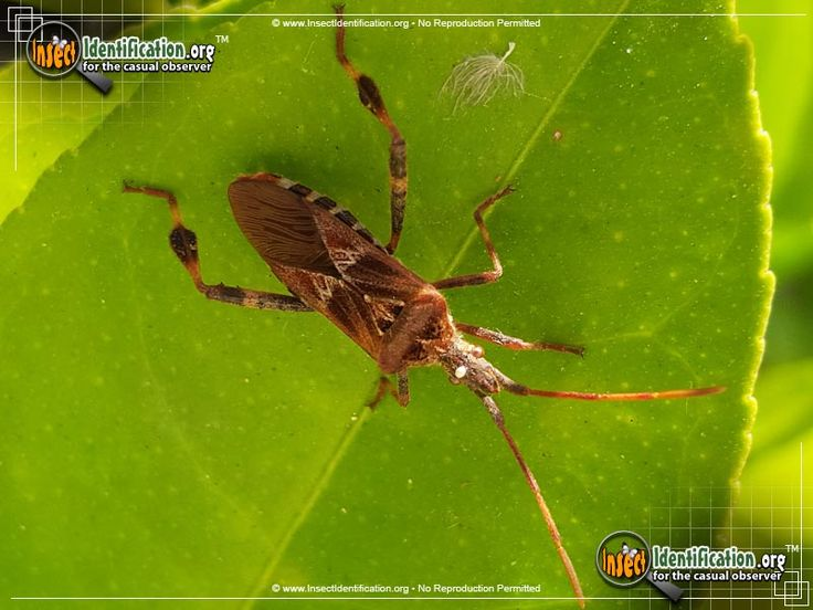 Western Conifer Seed Bug - The Western Conifer Seed Bug has spread eastward to cooler climates, but it still consumes the seeds of evergreen trees.