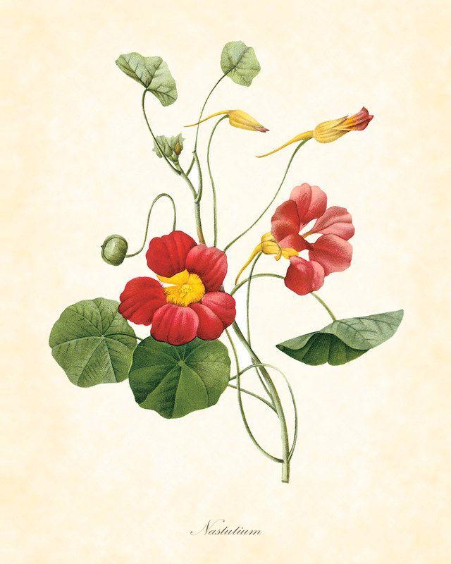 25 best Botanicals images on Pinterest | Botanical illustration, Botany and Botanical drawings