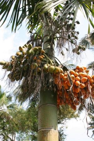 palm fruit oil healthy healthy exotic fruits