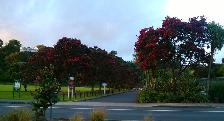 More Pohutukawa trees