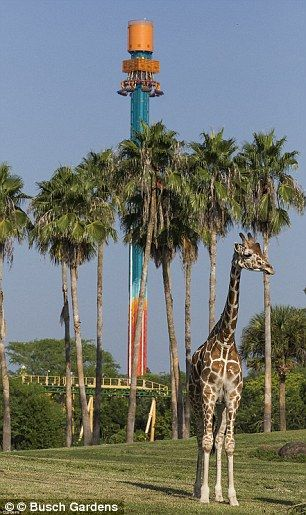 Wild time: Busch Gardens near Tampa, Florida,  featured the awesome rides Sheikra  and Falcon's Fury - and a safari