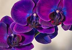 Gorgeous Deep purple orchids!