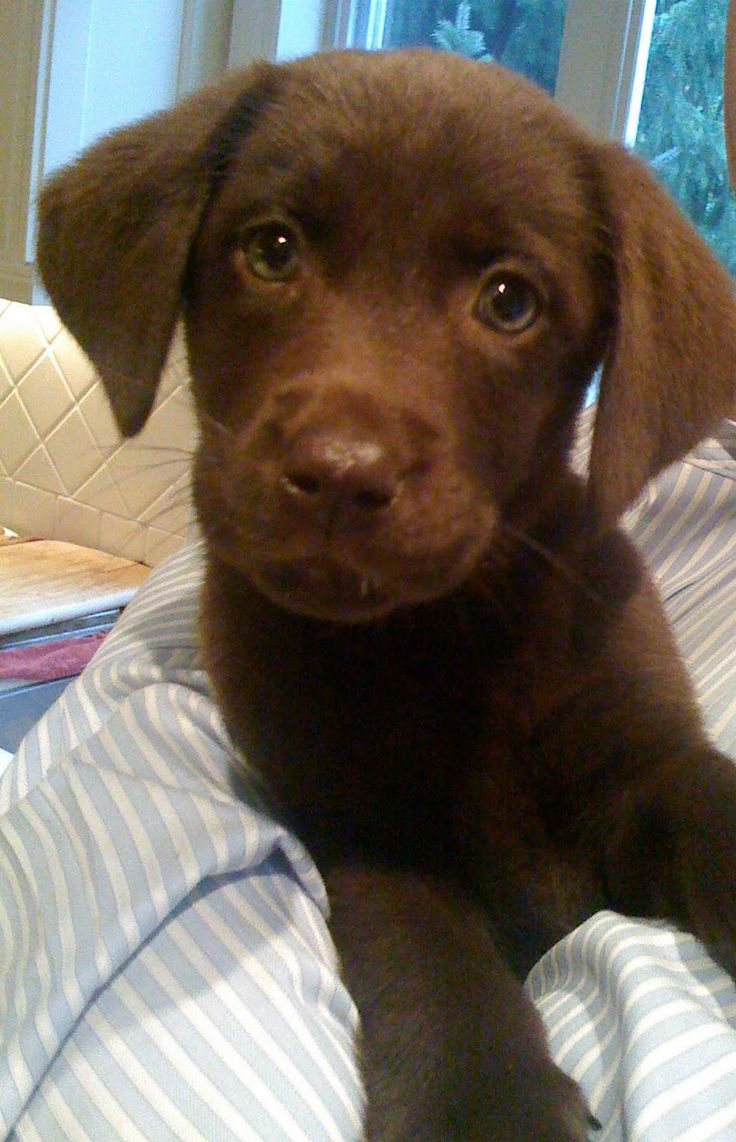 Cool Chocolate Brown Adorable Dog - 17c8df5eff612c0f0cdfe0e0e967381e--cute-lab-puppies-black-lab-puppies  You Should Have_759737  .jpg