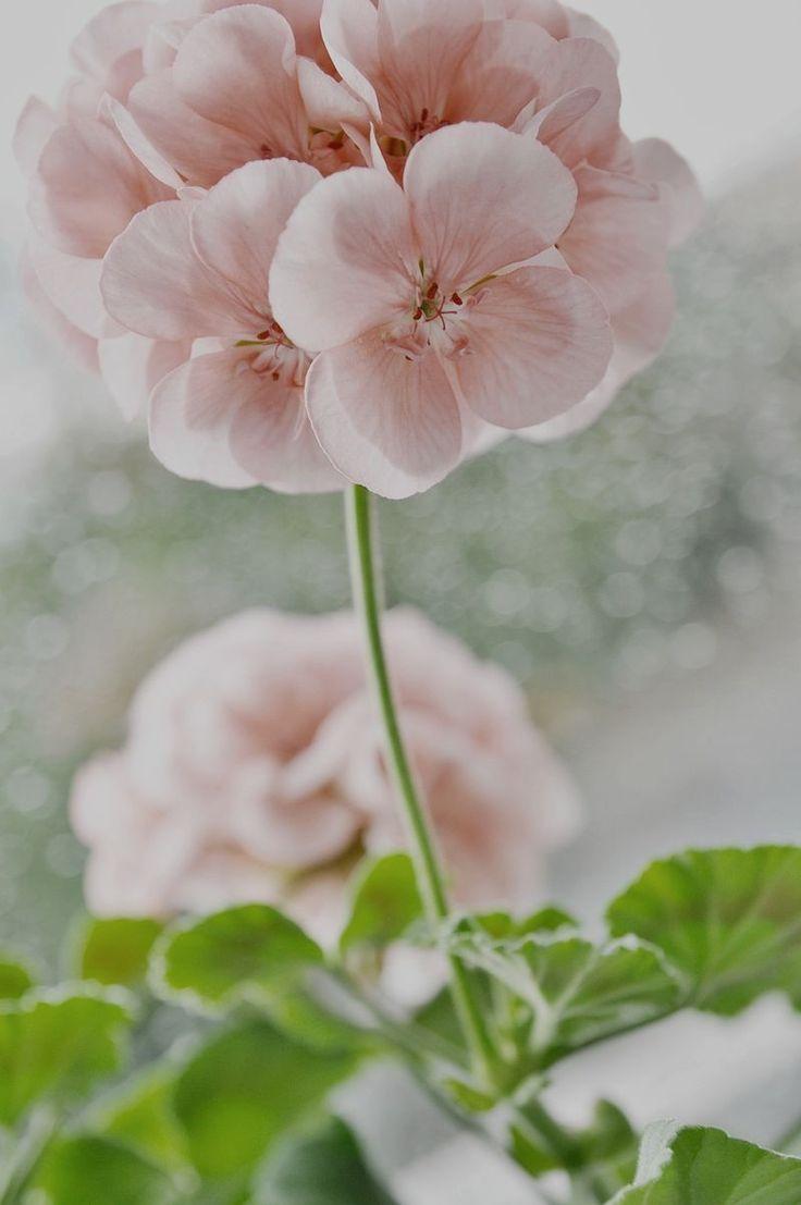 Снег идет, снег идет К белым звездочкам в буране Тянутся цветы герани За оконный переплет...