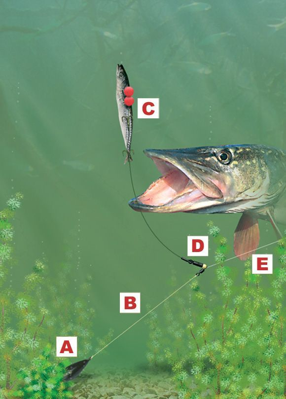 Popped up leger rig for pike and zander. *** Check out even more at the image
