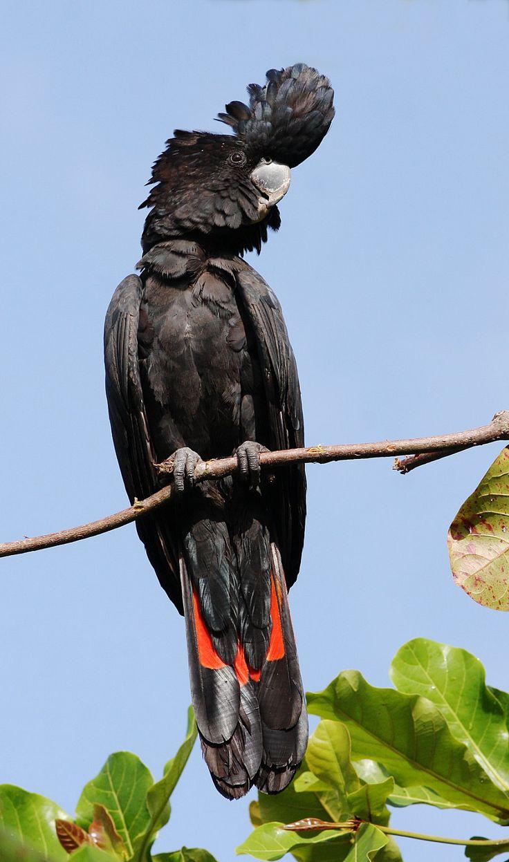 Red-Tailed Black-Cockatoo (Calyptorhynchus banksii)
