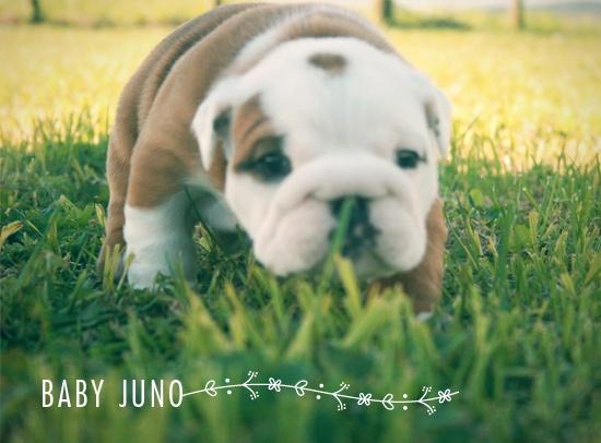 Baby english bulldog, Juno