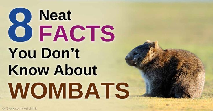 Aside from being territorial, wombats are miniature relatives of the rhinoceros. http://healthypets.mercola.com/sites/healthypets/archive/2015/01/02/wombat-facts.aspx