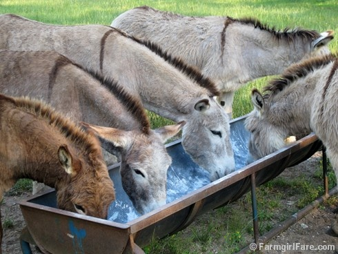 Treat time in Donkeyland! One of 21 photos in this week's Friday Farm Fix, a new series on Farmgirl Fare where I share a random sampling of what's been happening during the week.