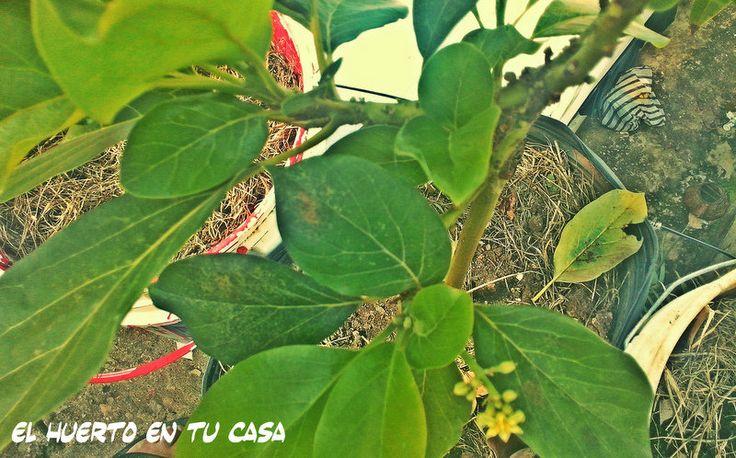 Cultivo de aguacate o palta en maceta para muchas - Plantar aguacate en casa ...