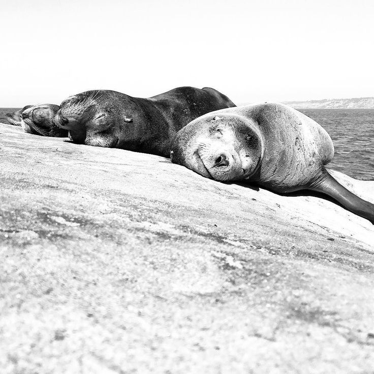 Nice day for a #sunbath #sealions #lajollacove #sandiego -- captured by #iphone6s #iphonephotography in #bnw #blacknwhite #blackandwhite