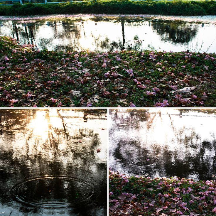 Fallen blooms at the lake #blooms #lake #water #flowers #thailand