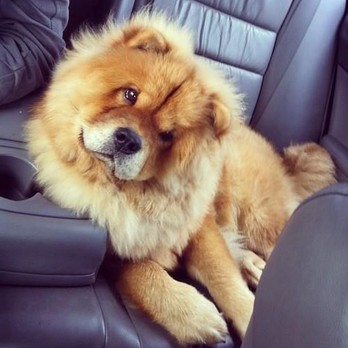 A Chow Chow! too cute and fluffy ... look at that face!!!