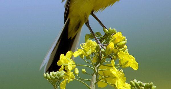 Yellow wagtail - Bergeronnette printanière by Alain Balthazard for https://handbooking.tech.blog