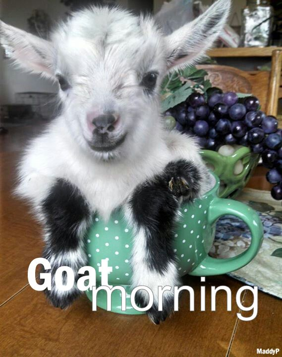 #morning goats