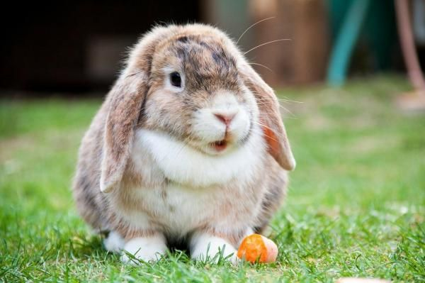 A French Lop Rabbit's Diet