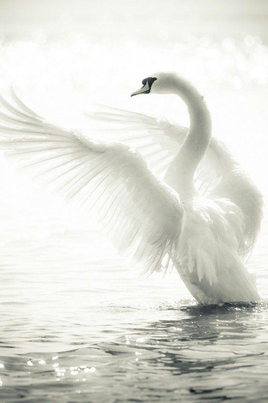 white swan ...magic