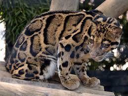 Risultati immagini per leopard site resources