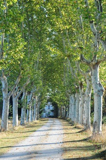 """The well planned environment ... Tree-lined country road """"plantanes"""""""
