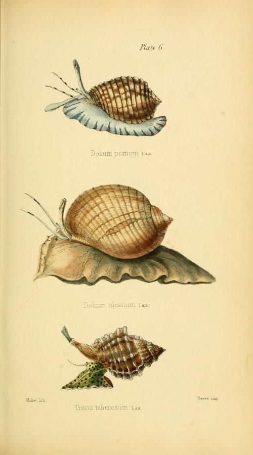 1846 | Initiamenta conchologica, or, Elements of conchology : comprising the physiological history of shells and their molluscous inhabitants : their structure, geographical distribution, habits, characters, affinities, arrangement, and enumeration of species