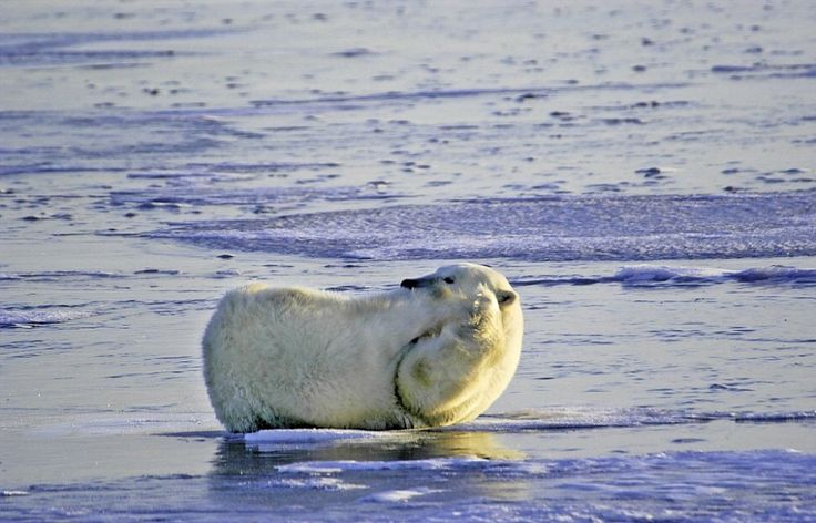 Alza le zampe   sopra la testa, allunga   la schiena sul ghiaccio e poi si distende   soddisfatto.  L'orso polare che fa stretching è stato ripreso  dal   fotografo   canadese   Dennis   Minty  , 67 anni. Le immagini sono state scattate    sul lato ovest   della Baia di Hudson  , in Canada, d