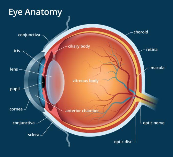 Human Eye Anatomy Parts Of The Eye Explained Eye Anatomy Basic Anatomy And Physiology Parts Of The Eye