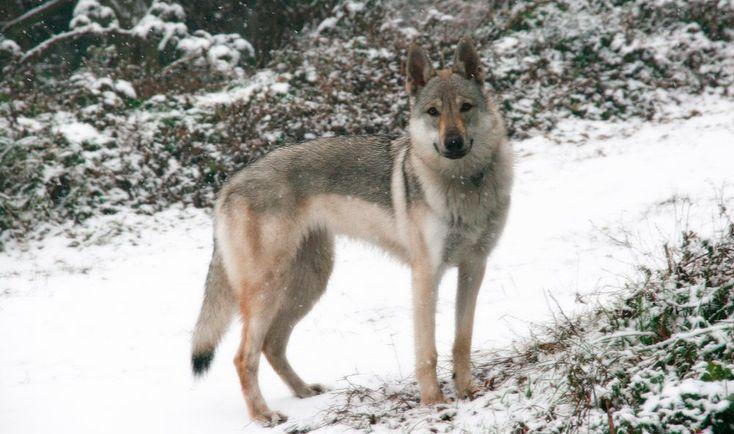 Perro lobo: mitad perro, mitad lobo