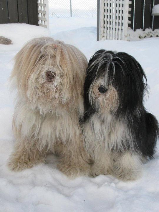 Beardies in the snow.