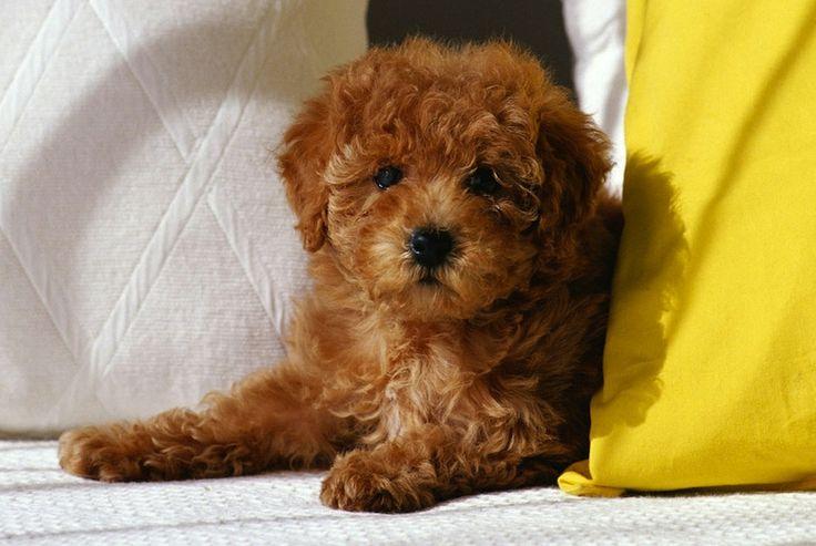 Poodle ( Toy Poodle ) - Dog Breed Standards