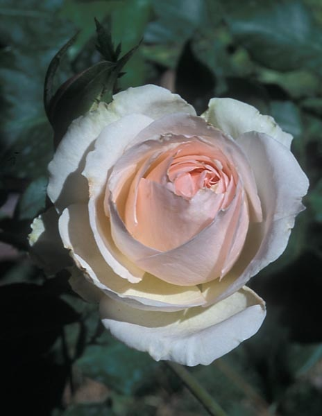 Johann Strauss   Modern Cluster Floribunda   Mild Apple Fragrance