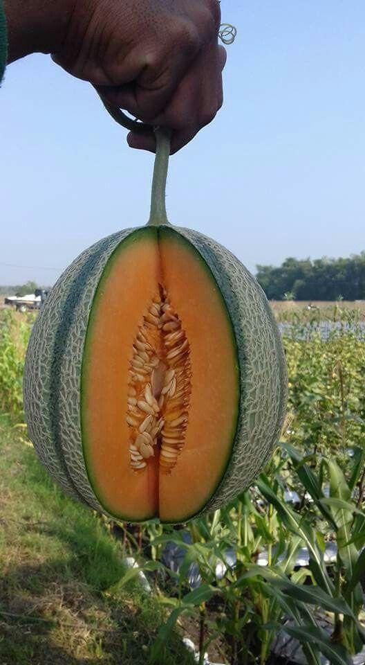 Rangipo melon