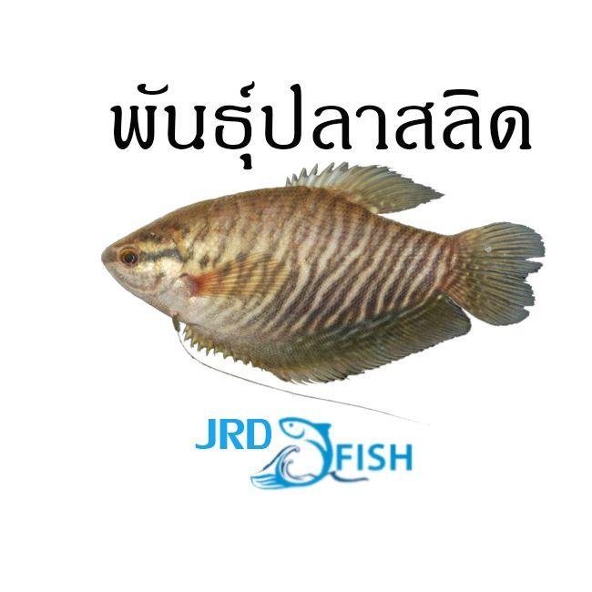 พ นธ ปลาสล ด