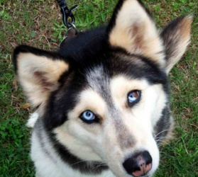Soco is an adoptable Siberian Husky Dog in Raleigh, NC. Name: Soco Sex: Female Approx. DOB: Weight: Approx. 35 lbs. Coat Color: Black and White Eye Color: Parti-Eyed, 1 eye is blue and one is both bro...