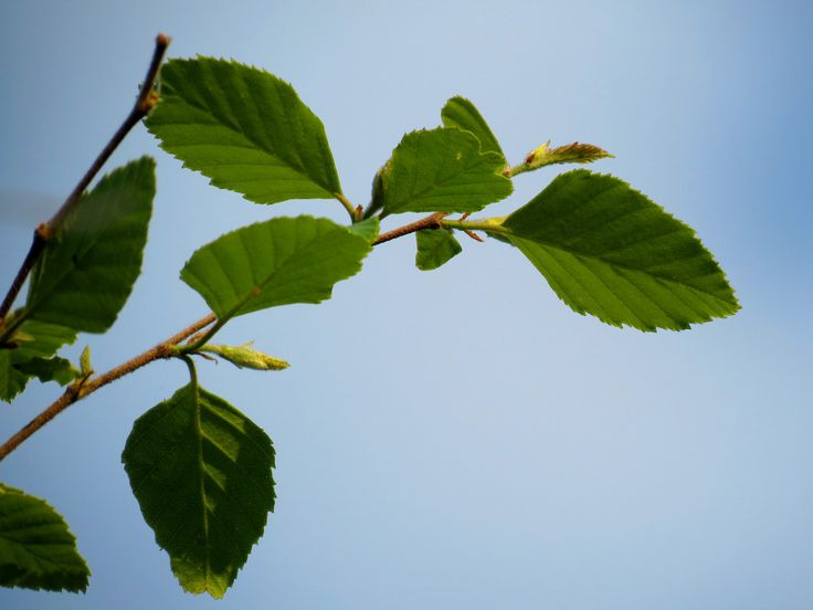 treegrow posted a photo:  Betula nigra . Heritage Island, Anacostia River, Washington, DC, USA.