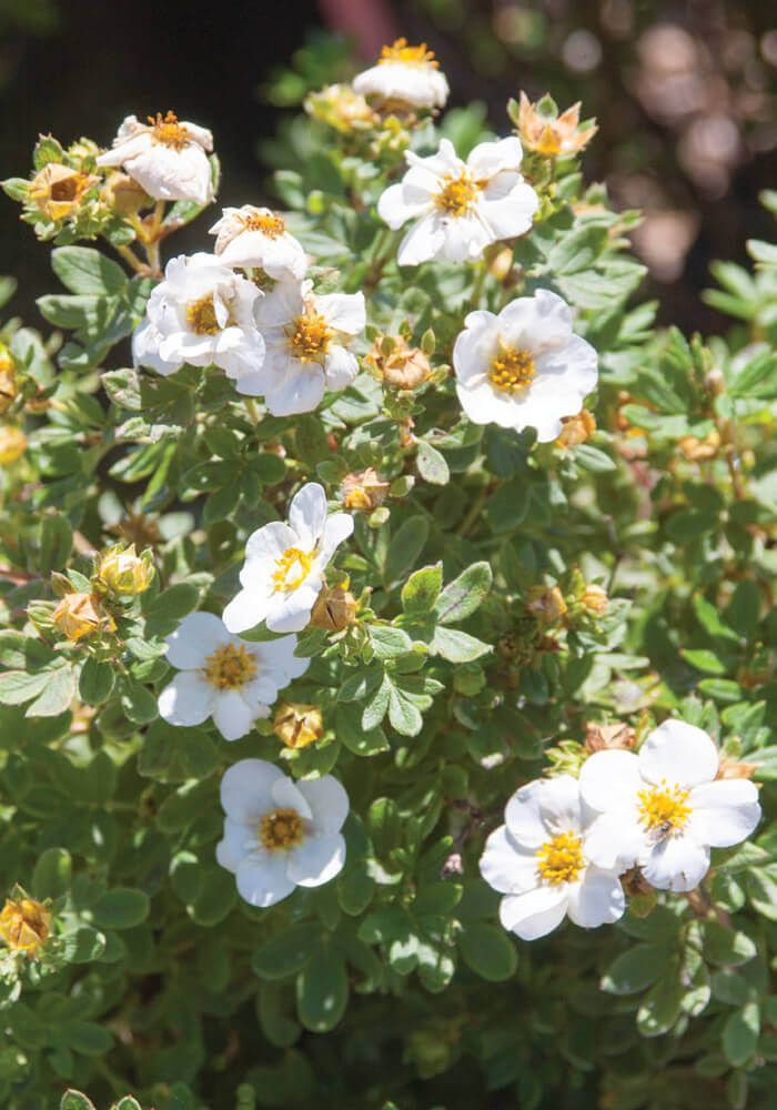 First Editions Creme Brulee Potentilla Order Online With