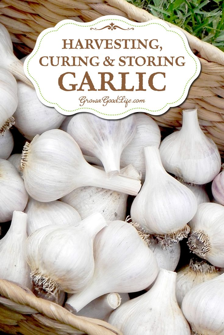 Harvesting Curing And Storing Garlic Gardens Them And Cure