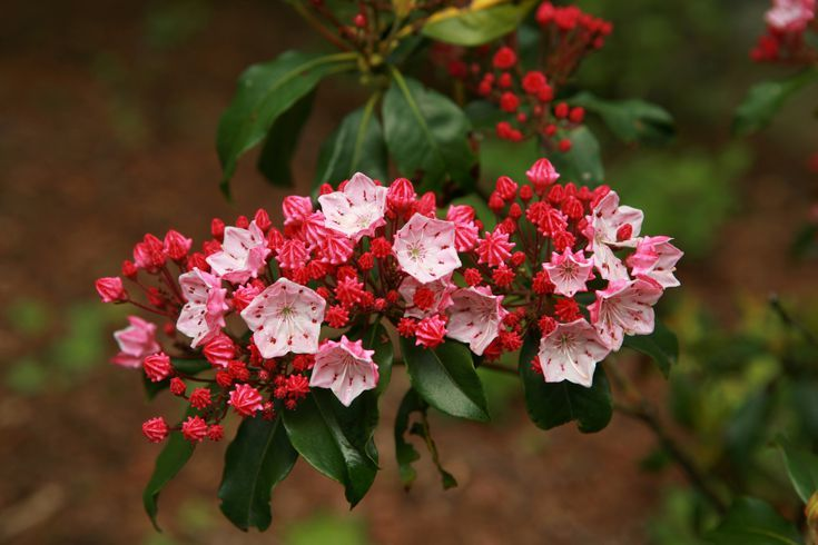 All About Mountain Laurel Shrubs and Bay Laurel Trees