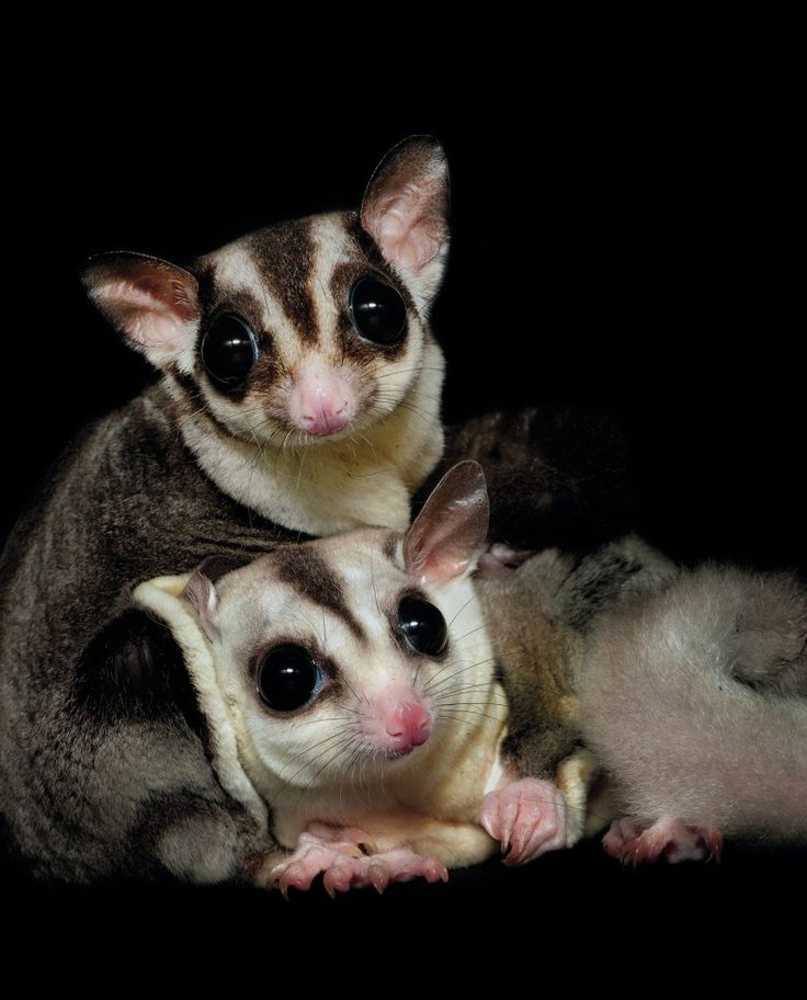 442 best images about Sugar gliders on Pinterest | Sugar ...