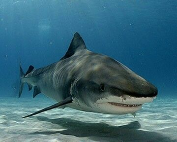 Tiger shark? I really don't care what kind of shark this is...ITS A FREAKING SHAAAAAARK!!!