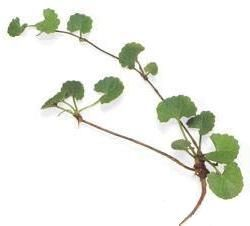 Picture of Gotu Kola leaves and stems