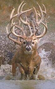 Buck stampede through the water