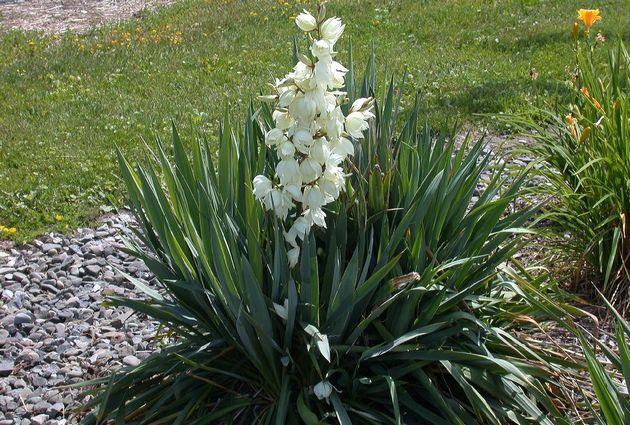 Юкка нитчатая. Уход за растением и посадка - рекомендации и советы насчет почвы, полива юкки. Как правильно ухаживать, чтобы растение цвело.