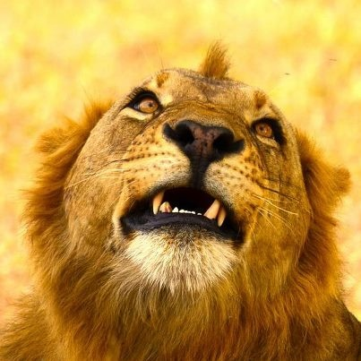 Gorongosa's lions are better than ever!!!! (Photo by Jeff Trollip): http://on.fb.me/XYzzJd