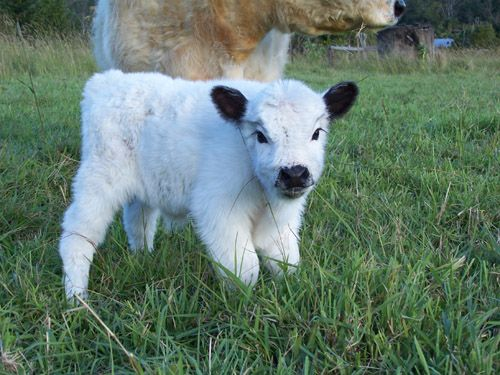 Miniature fluffy cow seeing you innocently. http://ift.tt/2gGmG62