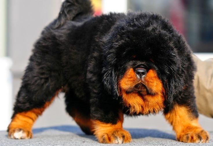 10 Most Rare Dog Breeds