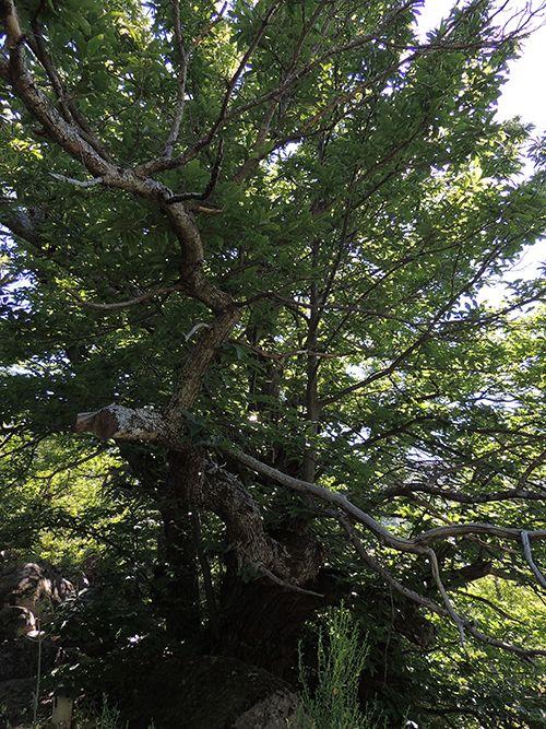 Castaño de la Fuente del Rey en Zarzalejo. http://www.elhogarnatural.com/arboles%20singulares/Castano%20de%20La%20Fuente%20del%20Rey.htm